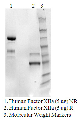 Human coagulation Factor alpha-XIIa