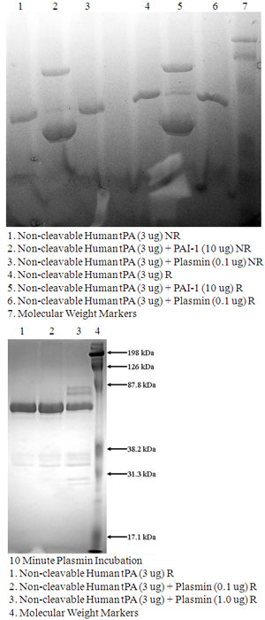 Non-cleavable Human tPA