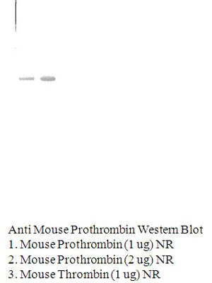 Anti-Mouse Prothrombin