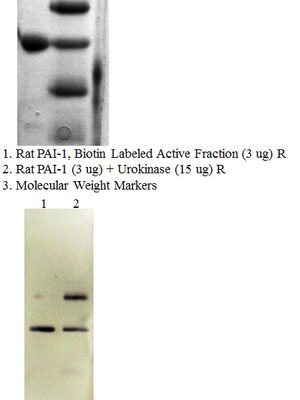 Rat PAI-1 (Biotin labeled active fraction)