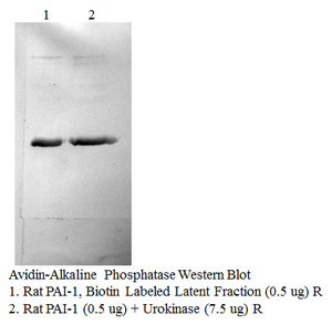 Rat PAI-1 (Biotin labeled latent fraction)