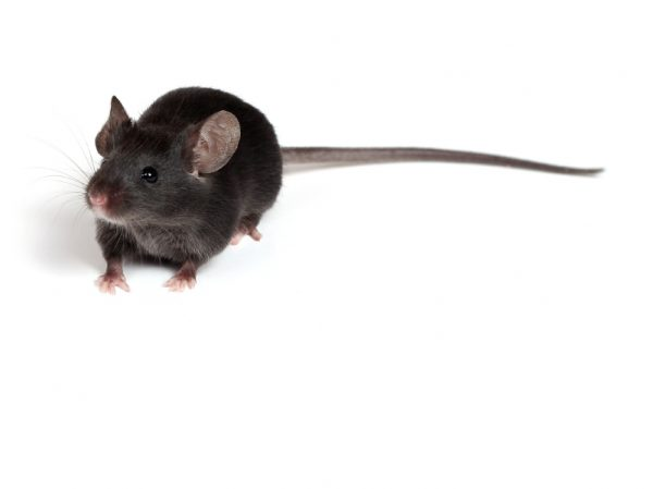 C57BL6 Knockout Mouse