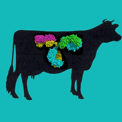 Bovine IgG, Protein G Purified