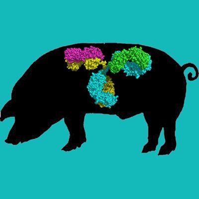 Swine IgG, Protein G Purified